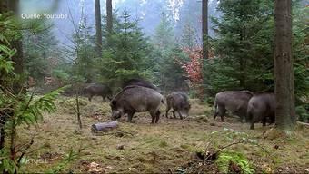 Immense Wildschweinschäden im Aargau