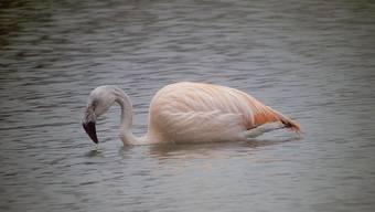 Flamingo am Flachsee: Ende Jahr erfreute der Vogel aus dem Zürcher Zoo Wanderer und Naturfreunde. (Theo Walser)