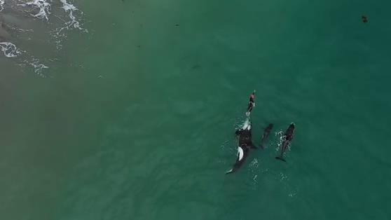 Orcas folgen Schwimmerin
