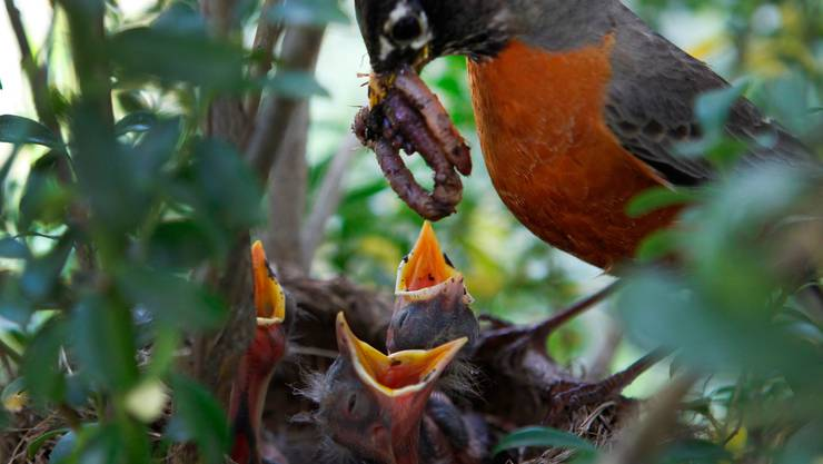 Wer Hecken jetzt zurückschneidet, gefährdet Jungvögel.