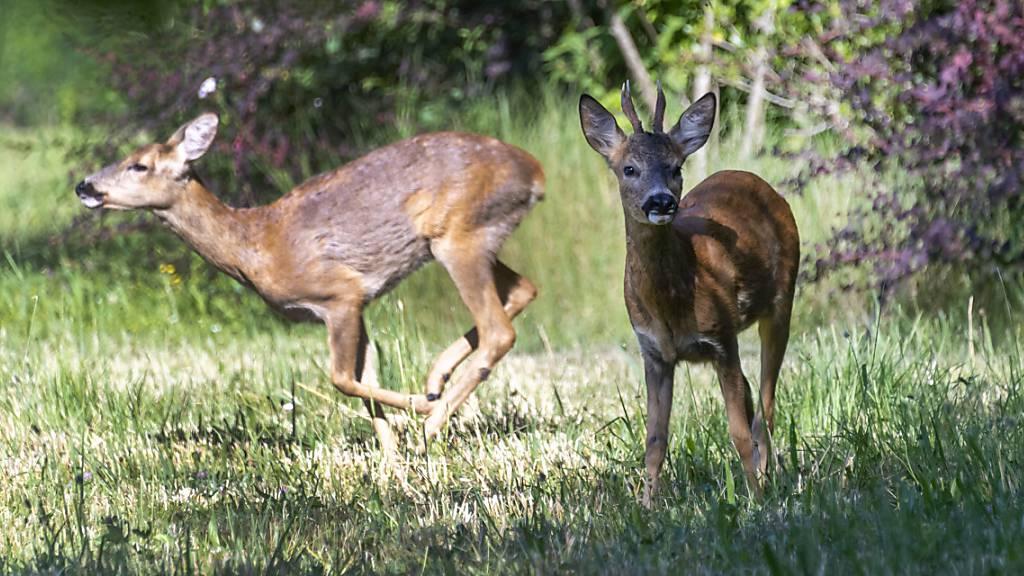Geheime Abschusszahlen der St.Galler Jagdreviere