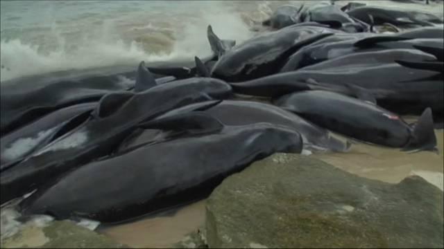 Australien: Über 150 Wale gestrandet