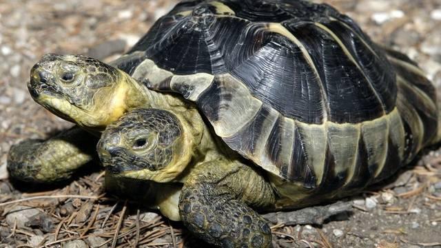 Eine Schildkröte mit zwei Köpfen (Symbolbild)
