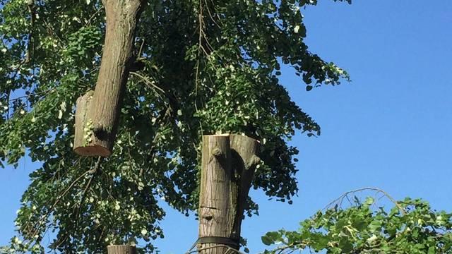 «Das tut weh»: Hier fliegt Aaraus ältester Stadtbaum davon
