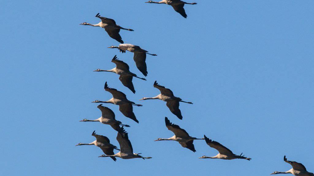 Die Kraniche ziehen dieser Tage wieder gen Süden. Durch ihr Nomadenleben sind Zugvögel von Klimawandel und Umweltveränderungen besonders betroffen. (Archivbild)