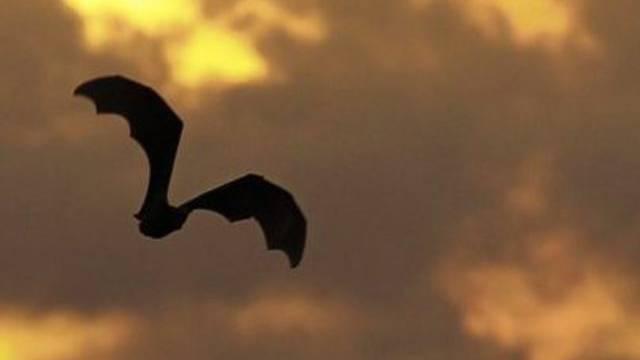 Eine Fledermaus im Flug. (Archiv)