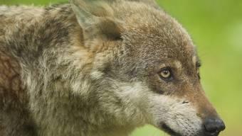 Im Entlebuch treibt sich ein Wolf herum (Archiv)