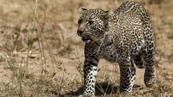 Ein Leopard in den Steppen unterwegs. (Symbolbild)
