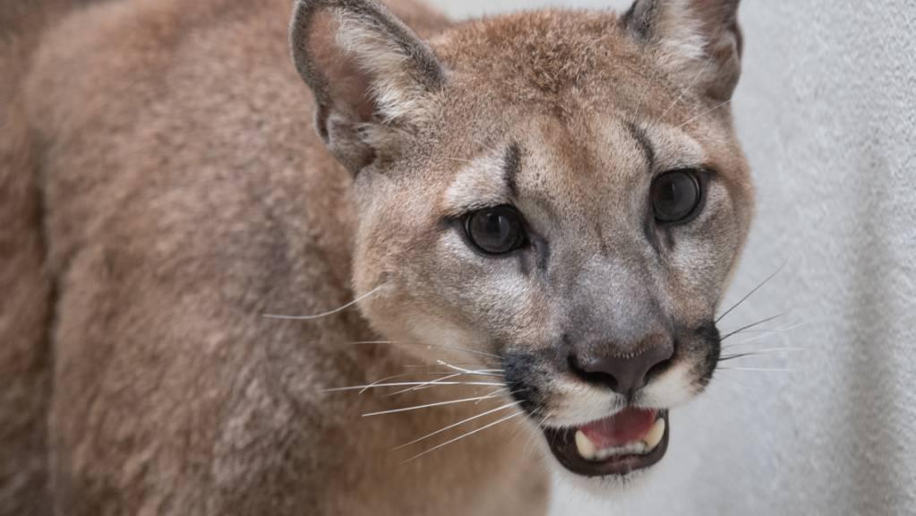 Puma «Sasha» vor ihrer Abreise aus dem Bronx Zoo.