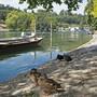 Sogar die Wasservögel suchen den Schatten: Stockenten und Blesshühner am Rheinufer in Schaffhausen.