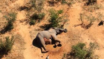 In Simbabwe sind zwölf tote Elefanten entdeckt worden, die mutmasslich an einer bakteriellen Infektion gestorben sind. (Archivbild)
