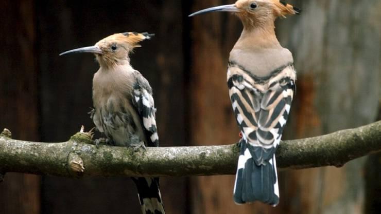 Der Schweizer Vogelschutz/BirdLife Schweiz rechnet mit einer Wiederansiedlung des Wiedehopfs in der Nordwestschweiz. Das Bild zeigt zwei Exemplare aus dem Tierpark Goldau.