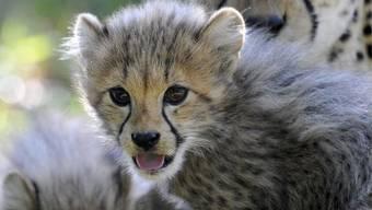Drei junge Geparden im Basler Zoo