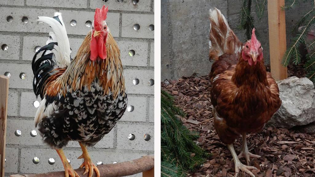 Schweden Hahn und zwei Hühner