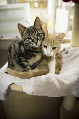 Diese 6 Wochen alte Kätzchen müssen noch aufgepeppt werden