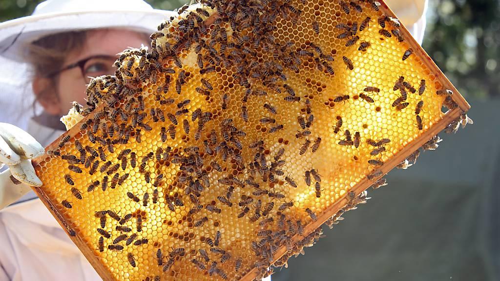 Rund jedes achte Bienenvolk hat den vergangenen Winter nicht überlebt. Die Verluste für die Schweizer Imker sind damit auf niedrigem Niveau stabil geblieben. (Archivbild)