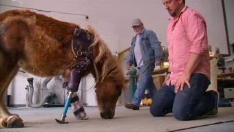 Neue Beine für Angel Marie: Wie ein Pony laufen lernte.