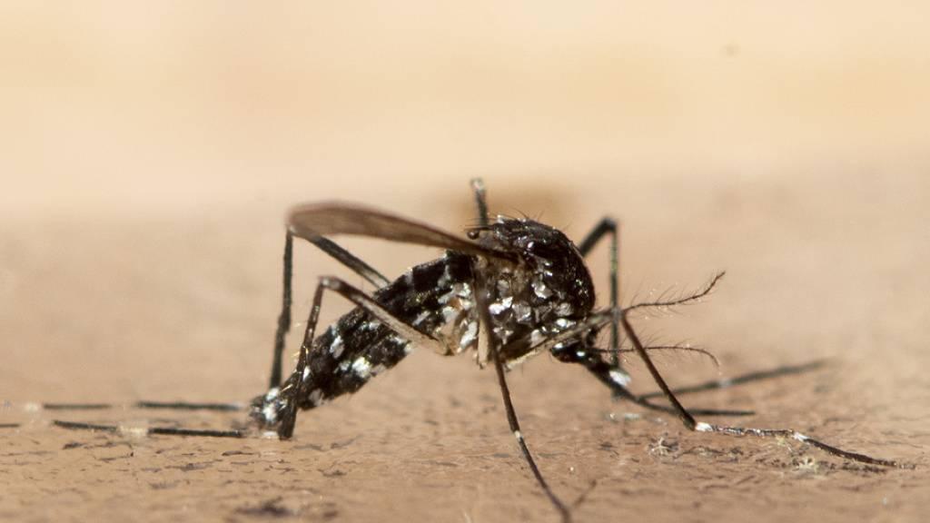 Wallis bremst mit Fallen Ausbreitung der Tigermücke