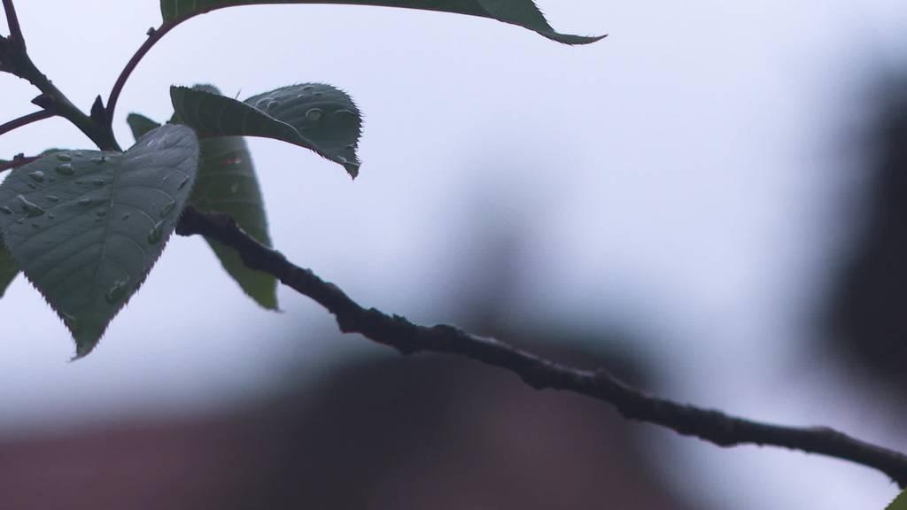 Rekordjahr: In Uznach kommen über 70 Störche auf die Welt
