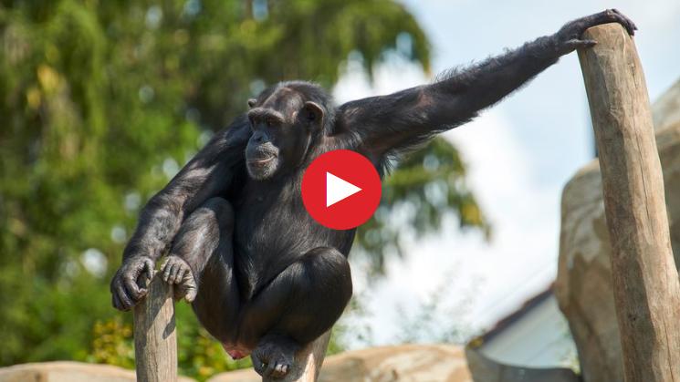 2018-09-10 14_46_53-Live bei den Schimpansen_ Live bei den Schimpansen - Schweizer Familie