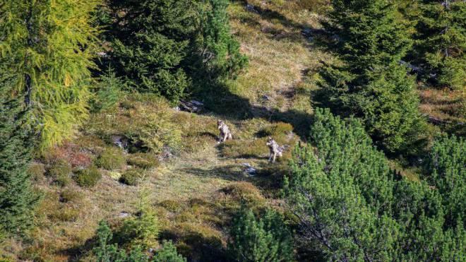 In die Fotofalle getappt: Einem Leser gelang letztes Jahr dieses Foto von zwei Jungwölfen im Calanda-Gebiet. Foto: Urs Steger
