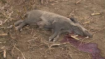 Im aargauischen Böttstein hat ein Unbekannter absichtlich eine ganze Wildschwein-Familie zu Tode gefahren. Wer ist der skrupellose Killer? Die Staatsanwaltschaft hat eine heisse Spur.