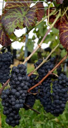 Dicht an dicht hängen die Pinot-Noir-Trauben.