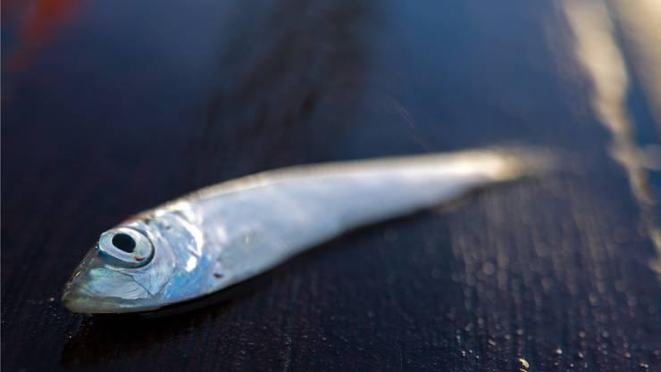 Die Erträge der Meeresfischerei – hier ein Hering – nehmen bereits seit über zwanzig Jahren ab.