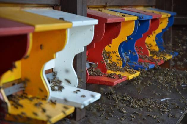 25 Bienenvölker sorgen im Lehrbienenstand auf dem Wallierhof für Bestäubung und Honig.