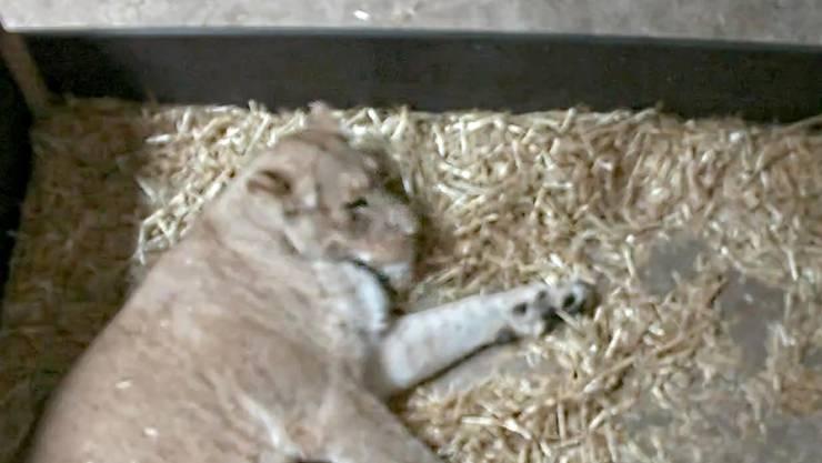 Erst am Freitaghatte die Löwin Kigali ihre Jungen zur Welt gebracht. Gestern Abend hat sie diese jedoch vollständig gefressen.