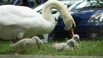 Sorgten für Entzücken: die kleinen Schwäne und ihre Mutter beim Zmittag.