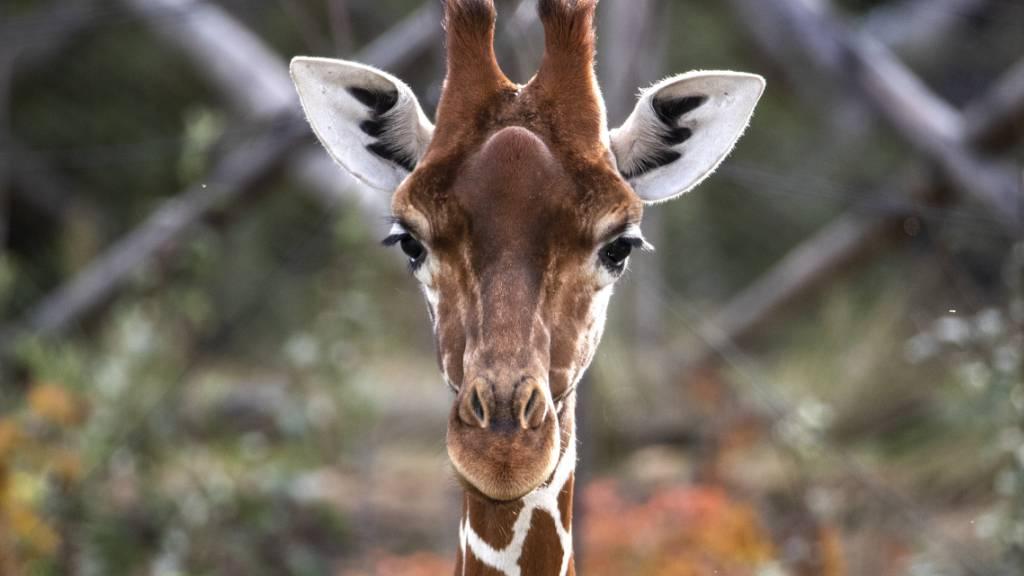 Fühlt sich bisher auch ohne Bulle wohl: eines der vier Giraffen-Weibchen im Zoo Zürich.