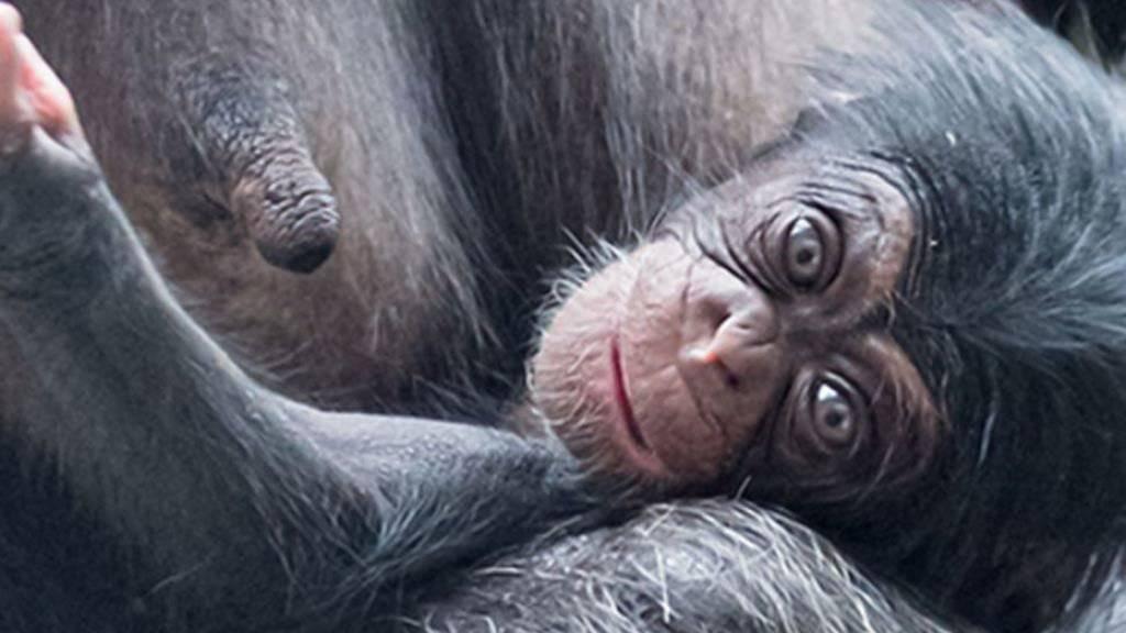 Im Zoo Basel ist ein Schimpansen-Baby auf die Welt gekommen.