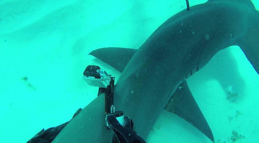 Kameramann befestigt GoPro an Hammerhai-Finne – das kam dabei raus