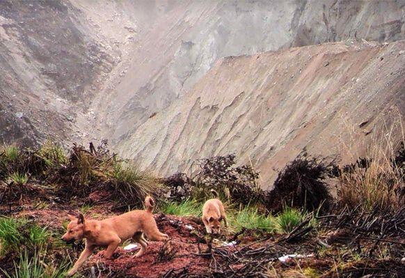 New Guinea Highland Wild Dog Foundation