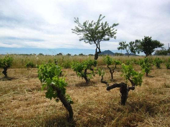 Weinstöcke auf Maillorca