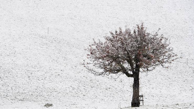 Ein Apfelbaum inmitten einer Schneelandschaft in der Region Schwanden bei Sigriswil