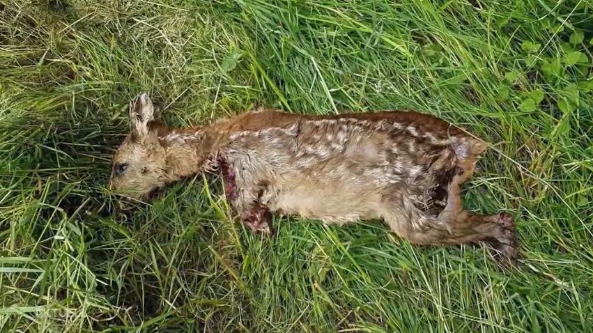 Trotz Warnungen der Jäger: Erneut ein Rehkitz vermäht