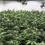 Wissenschaftliche Studien zu Cannabis sollen nach Ansicht des Nationalrats nun doch erlaubt werden. Die grosse Kammer hat Vorstössen für eine Lockerung im Umgang mit Cannabis zugestimmt. (Archivbild)