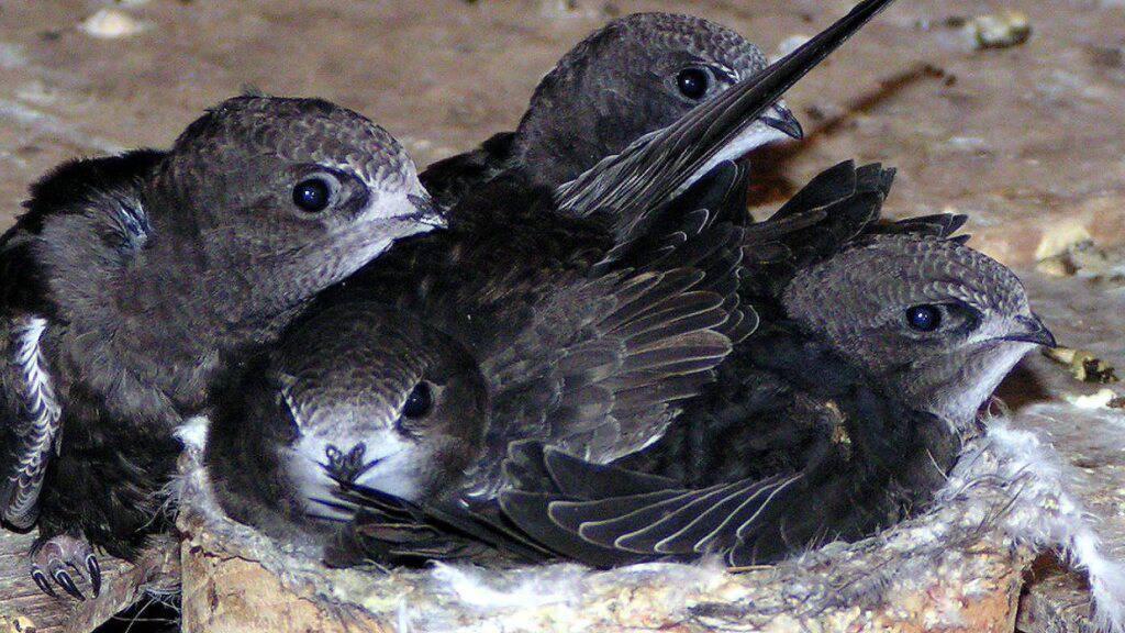 Zahlreiche junge Mauersegler, die aus zu warmen Nestern fielen, landeten in der Pflegestation der Vogelwarte Sempach. (Symbolbild)