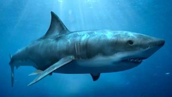 Der grösste Hai: 18 Meter. Vergleich: Weisse Haie werden «nur» acht Meter lang. HO
