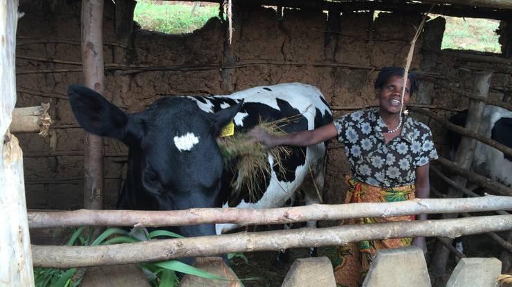 Auch Kühe gibt es in Ruanda.