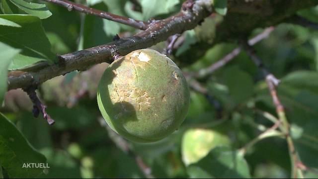 Grosser Schaden an Obstplantage