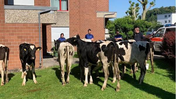Am Montag musste die Kantonspolizei Zürich eine Rinderherde stoppen.