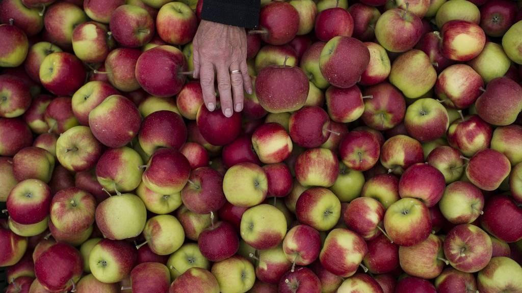 Apfelernte in Altnau im Kanton Thurgau. Altnau ist auch als «Apfeldorf mit Stil» bekannt.