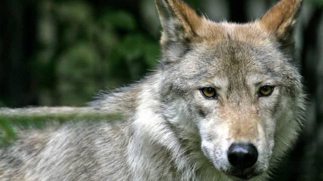Der Wolfsbestand in der Schweiz ist faktisch reguliert
