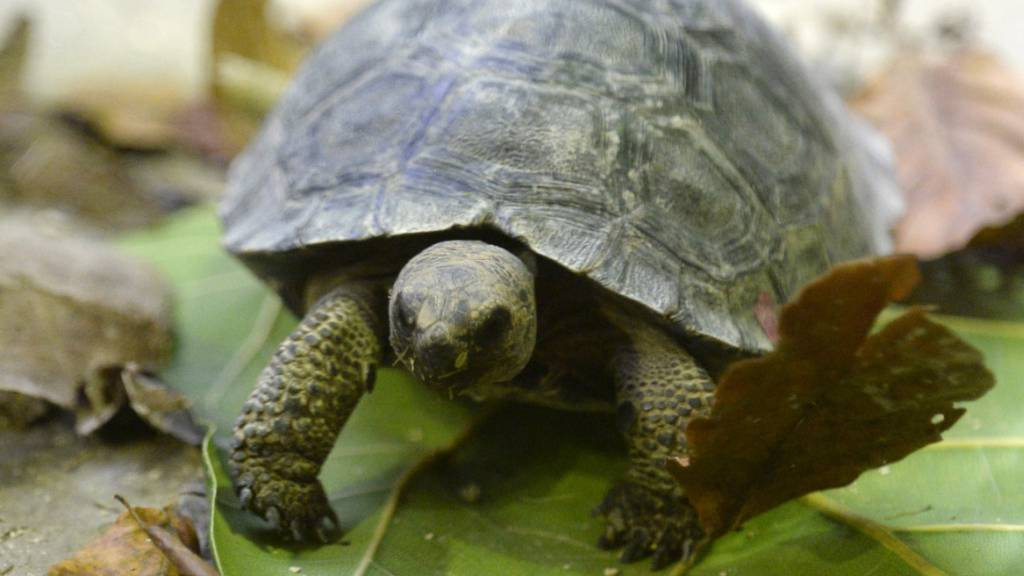 Die Polizei hat einen Schmuggel von Riesenschildkröten auf den Galapagos-Inseln unterbunden. (Archivbild)