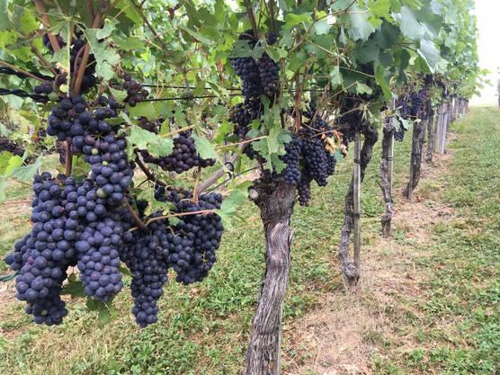 Die Weinreben im Ittenthal