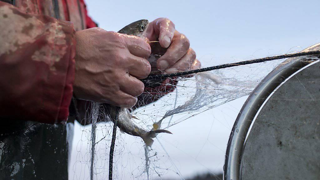 Haben es die Fische schwer, leiden auch die Berufsfischer. Ein Bericht des Bundesrates schlägt Massnahmen für die Verbesserung der Wasserqualität und der Lebensräume der Fische vor.