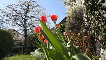 Drei Wochen lang herrschte im April Blütenpracht unter stahlblauem Himmel.